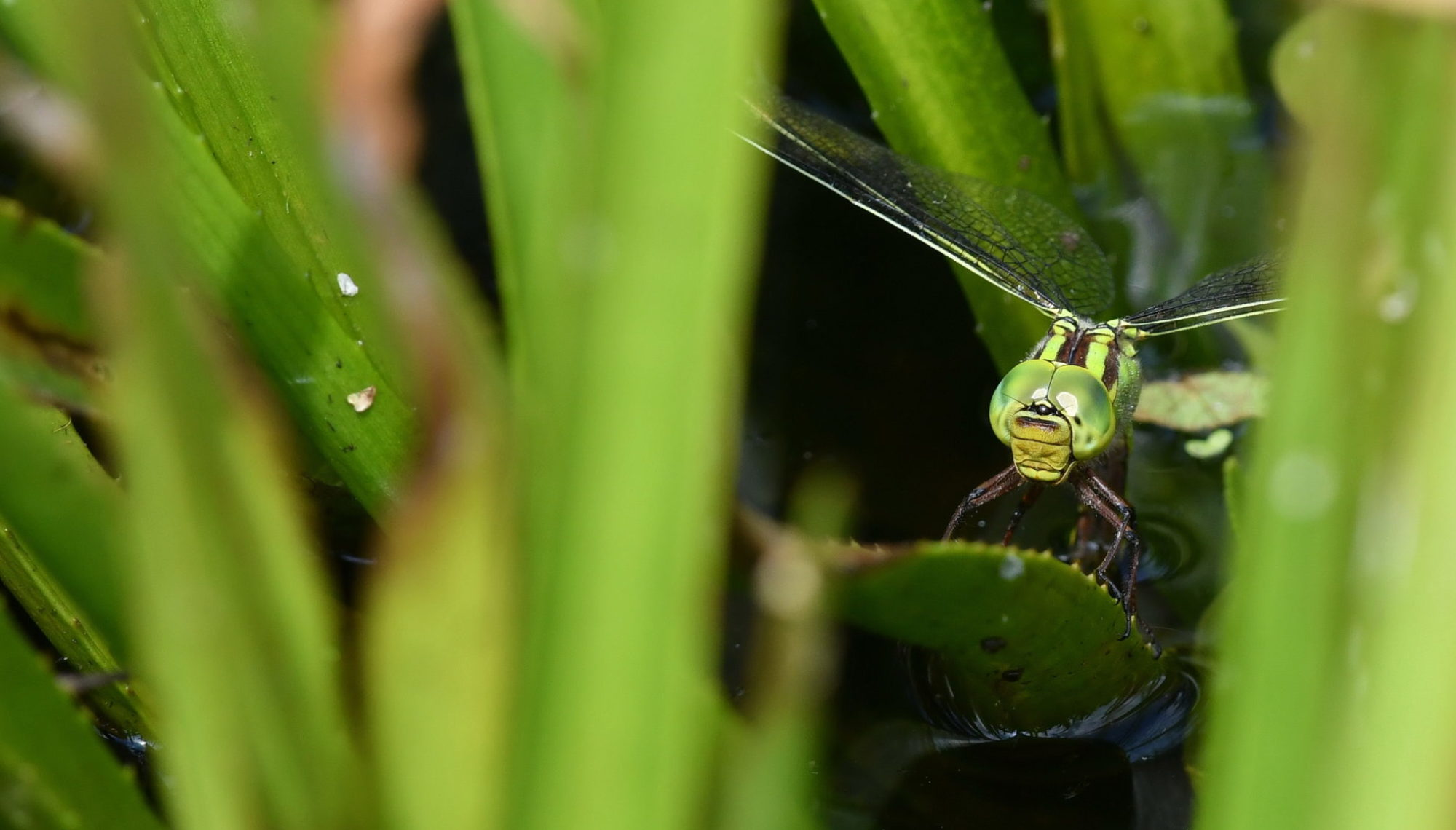 Video DutchDragonflies